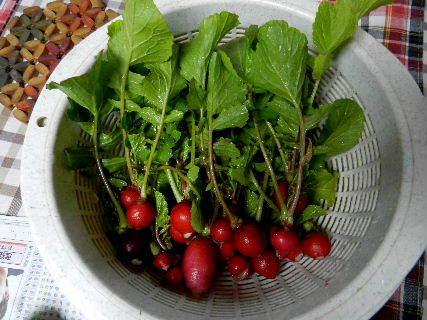 2015-01・07 今日の収穫 (2).JPG