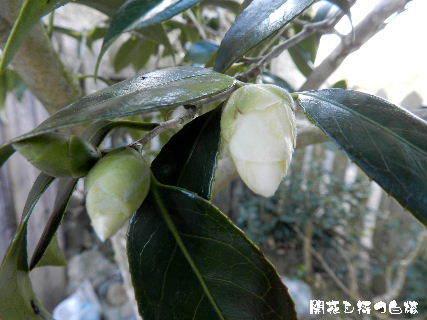 2015-02・21 開花を待つ白椿.JPG