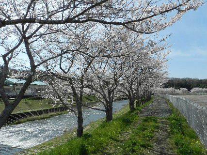 2015-04・04 我が町の桜模様 (2).JPG