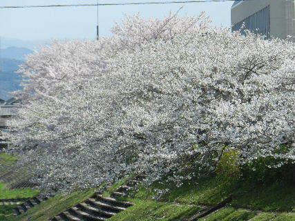 2015-04・04 我が町の桜模様 (4).JPG