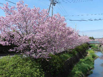 2015-04・04 我が町の桜模様 (7).JPG
