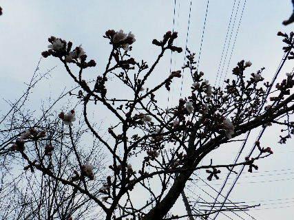 2016-03・30 我が町の桜も・・・ (1).JPG