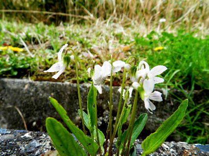 2016-04・11 日溜りの路肩で咲く花を・・・ (1).JPG