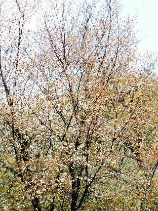 2016-04・12 山桜も開花を・・・ (1).JPG