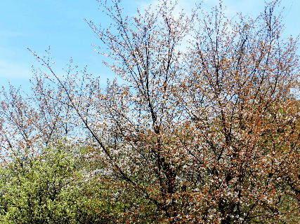 2016-04・12 山桜も開花を・・・ (2).JPG