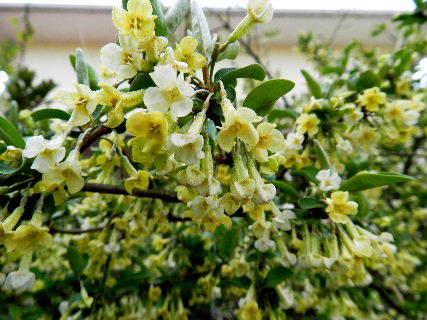 2016-04・12 茱萸の花が・・・.JPG