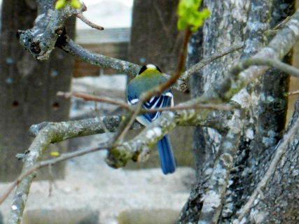 2016-04・12 里山の野鳥・・・.JPG