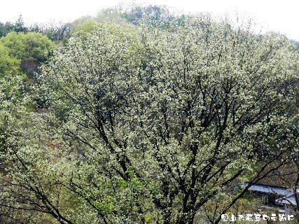 2016-04・13 里山は若葉の季節 (1).JPG