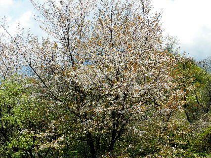 2016-04・14 満開の山桜 (2).JPG