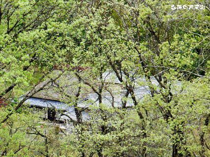 2016-04・18 今朝の古民家.JPG