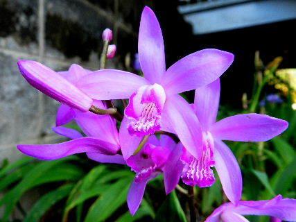 2016-05・17 我が家の庭で咲く紫蘭 (1).JPG