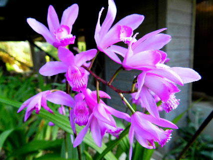2016-05・17 我が家の庭で咲く紫蘭 (2).JPG