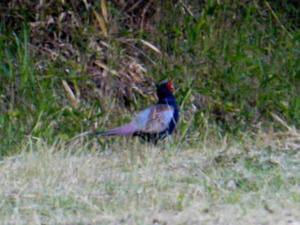 2016-05・20 里山の野鳥達・・・ (1).JPG