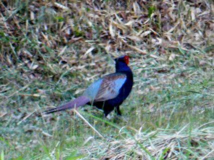 2016-05・20 里山の野鳥達・・・ (2).JPG