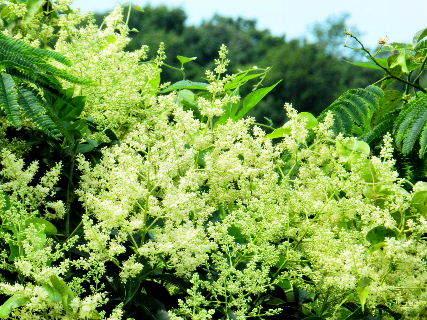 2016-07・05 里山の樹木にも花が (1).JPG