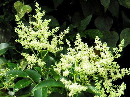 2016-07・05 里山の樹木にも花が (2).JPG