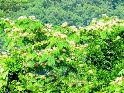 2016-07・07 今が盛りと咲き誇る合歓の木.JPG