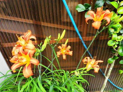 2016-07・08 我が家の庭で・・・ (1).JPG