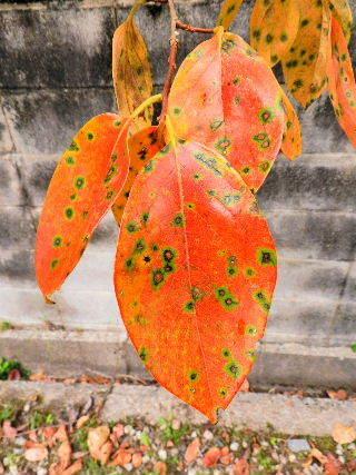 2016-10・25 柿の葉も紅葉を (1).JPG