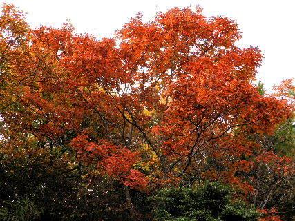 2016-11・15 紅葉したコナラの木.JPG