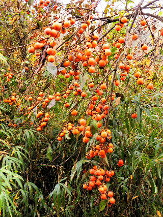 2016-11・20 山柿も落葉で・・・ (2).JPG