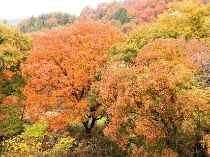 2016-11・21 紅葉も盛期を・・・ (1).JPG
