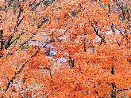 2016-12・09 紅葉の狭間に見える古民家・・・.JPG
