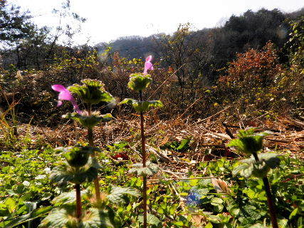 2016-12・19 里山の山野草・・・ (5).JPG