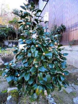 2016-12・28 我が家の庭で・・・ (1).JPG