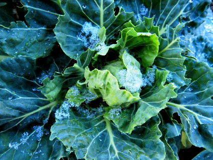 2016-12・28 雪化粧した菜園野菜・・・ (3).JPG