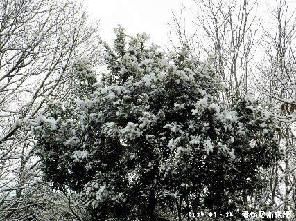 2017-01・15 樹木も雪化粧を・・・ (1).JPG