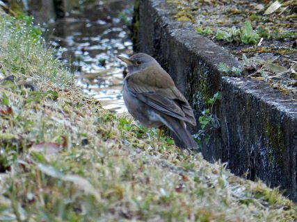 2017-03・27 里山の野鳥達・・・ (2).JPG