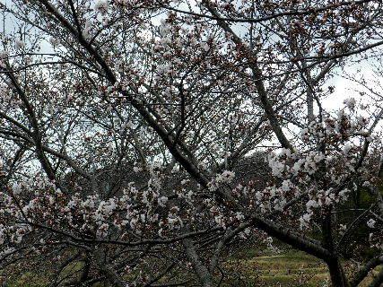 2017-04・06 里山の春を彩る花達 (7).JPG