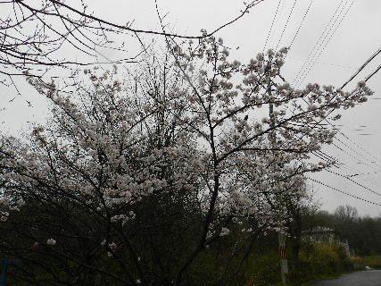 2017-04・08 里山にも春が・・・ (3).JPG