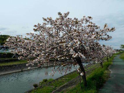 2017-04・25 我が町の桜模様・・・ (2).JPG