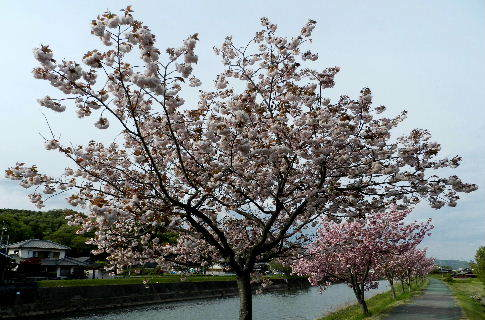2017-04・25 我が町の桜模様・・・ (4).JPG