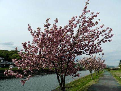 2017-04・25 我が町の桜模様・・・ (5).JPG