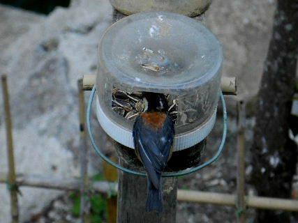2017-06・19 餌場を訪れる野鳥達 (1).JPG