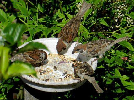 2017-06・19 餌場を訪れる野鳥達 (5).JPG