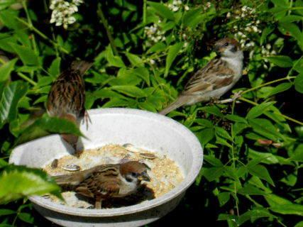 2017-06・19 餌場を訪れる野鳥達 (7).JPG