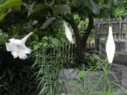2017-08・19 我が家の庭で (5).JPG